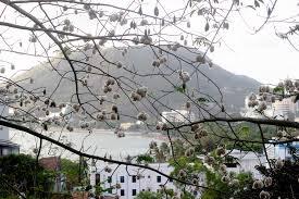 Du lịch Vũng Tàu - Cây bông gòn